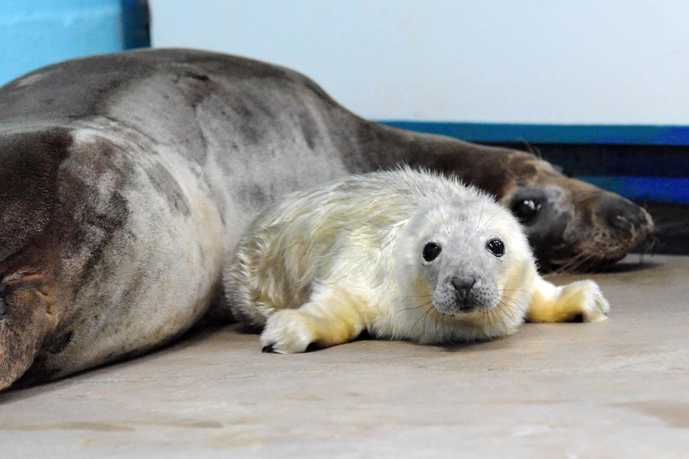 Grey-seal-pup-brookfield