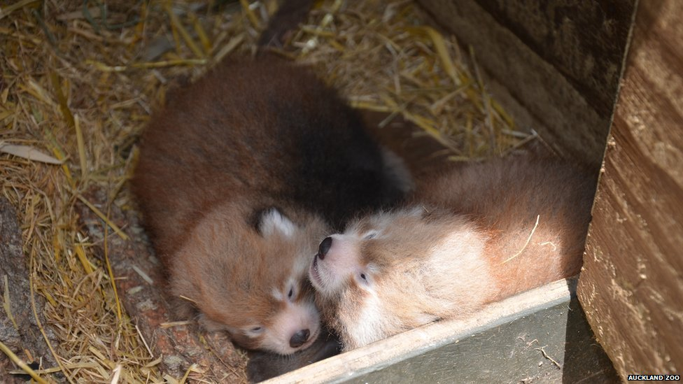 asian-red-panda-auckland