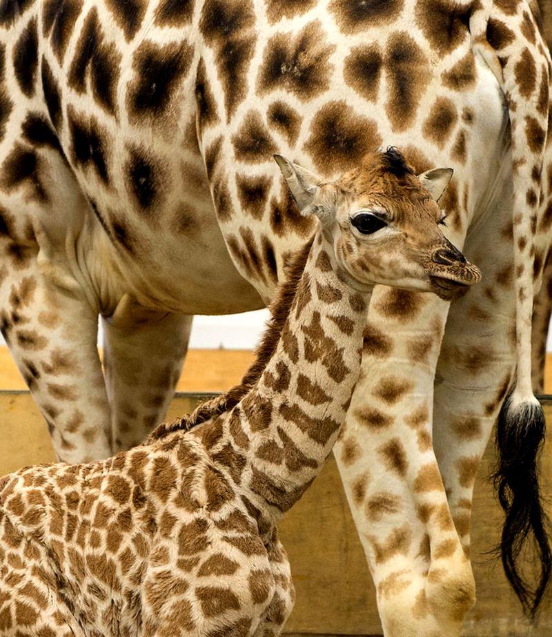 giraffe-calf-paignton