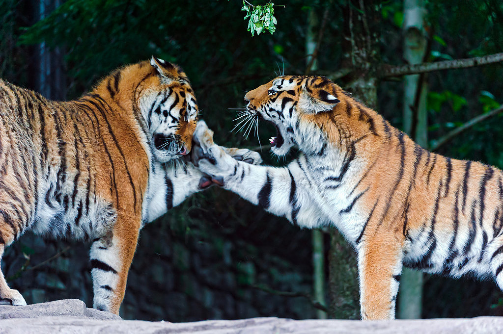 Tiger-Parenting-Chinese-Parenting